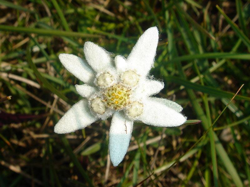 Mengenal Bunga Abadi Edelweiss Simbol Keindahan Alami Gunung Alps