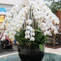 gambar-rangkaian-bunga-anggrek-bulan-putih